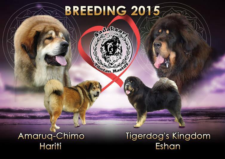 The breeding of Eshan and Hariti Tibetan Mastiff dogs by Sadaksari Kennel